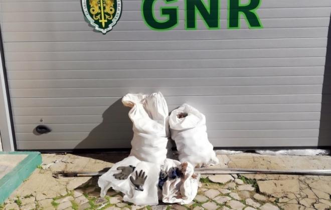 GNR deteve dois homens em Sines por furto de pinhas