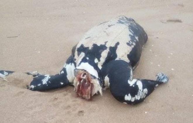 Tartaruga apareceu morta na praia da Lagoa de Santo André