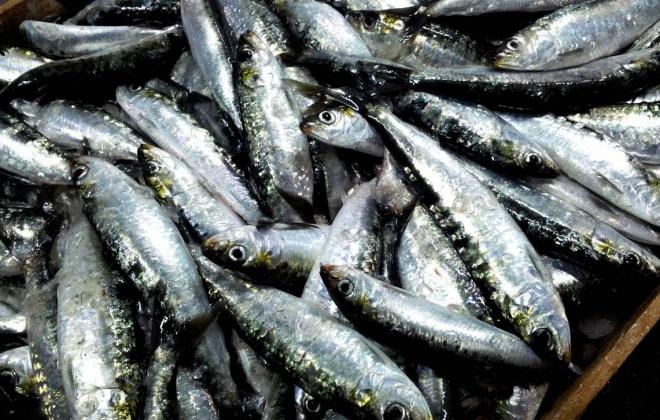 Ministro do Mar anuncia aumento da quota de pesca da sardinha