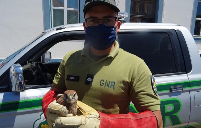 GNR resgata Peneireiro Vulgar em Alcácer do Sal